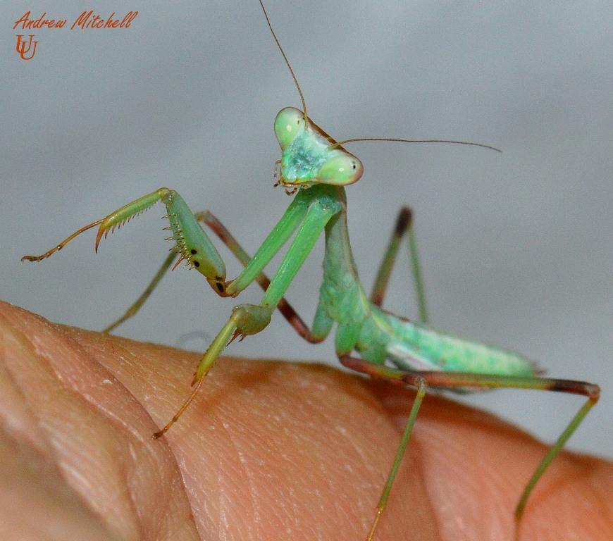 Asian mantis care