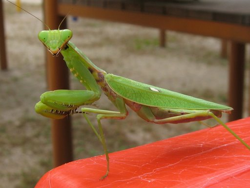Cayenne reccomend Asian mantis care